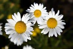 цветки одуванчиков Стоковая Фотография