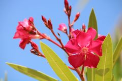 Цветки олеандра фуксии в портрете неба более близком стоковое фото rf