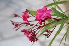 Цветки олеандра фуксии на ландшафте террасы более близком стоковые фото