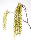 цветки ольшаника Стоковые Фото