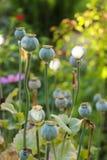 Цветки опиума Стоковые Фото