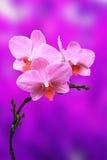 Цветки орхидеи Стоковое Фото