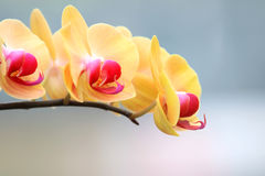 Цветки орхидеи Стоковое Изображение RF