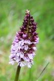 Цветки орхидеи дамы Стоковая Фотография RF