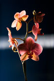 Орхидея в ноче Стоковое Изображение