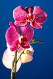 Орхидея в ноче Стоковое фото RF