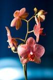 Орхидея в ноче Стоковые Фото