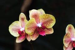 Цветки орхидеи на темной предпосылке Желтые цветки в пятнах Стоковые Фото