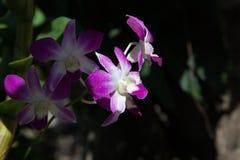 Цветки орхидеи на черной предпосылке Стоковая Фотография RF