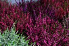 Цветки осени вересков стоковые фото