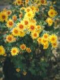 Цветки осени, красивые хризантемы в цветнике Желтые астры растя в парке Стоковая Фотография