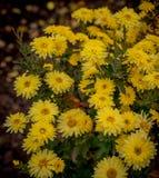 Цветки осени, красивые хризантемы в цветнике Желтые астры растя в парке Стоковое Изображение