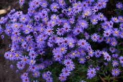 Цветки осени под именем ` s Sentyabrinki Стоковые Фото