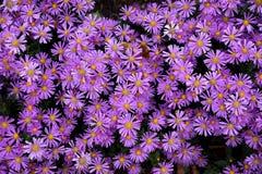 Цветки осени под именем ` s Sentyabrinki Стоковые Изображения