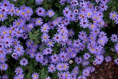 Цветки осени под именем ` s Sentyabrinki Стоковые Изображения RF
