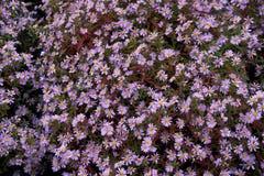 Цветки осени под именем ` s Sentyabrinki Стоковое Изображение RF