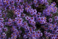 Цветки осени под именем ` s Sentyabrinki Стоковые Фотографии RF