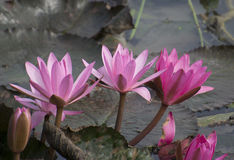Цветки лотоса в пруде стоковая фотография rf