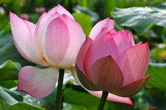 Цветки лотоса цветения розовые Стоковые Изображения RF