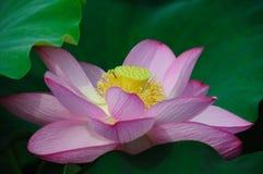 Цветки лотоса стоковое изображение