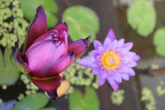 Цветки лотоса Стоковые Фотографии RF