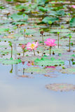 Цветки лотоса Стоковое фото RF