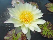 Цветки лотоса Стоковая Фотография