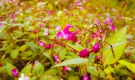 Цветки одичалого пинка, конец-вверх Стоковая Фотография RF