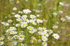 Цветки одичалого стоцвета стоковая фотография rf