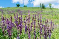 Цветки одичалого шалфея Стоковое Фото