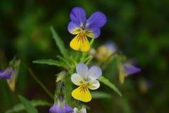 Цветки одичалого pansy в саде Стоковые Изображения