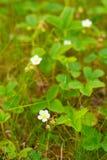 Цветки одичалой клубники против запачканной предпосылки зеленых листьев Стоковая Фотография