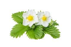 Цветки одичалой клубники Стоковая Фотография