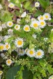 Цветки одичалой хризантемы Стоковая Фотография