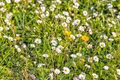 Цветки одуванчика и маргариток Стоковое фото RF