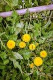 Цветки одуванчика против зеленых цветов весны Стоковые Фотографии RF