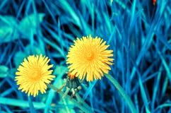 Цветки одуванчика Стоковые Изображения RF