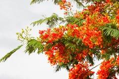 Цветки павлина на Таиланде Стоковые Изображения