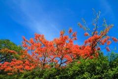 Цветки павлина Стоковое фото RF