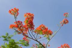 Цветки павлина Стоковые Изображения