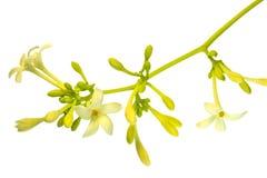 Цветки папапайи Стоковые Изображения RF