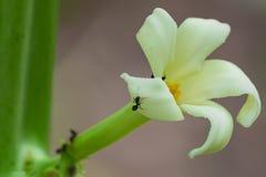 Цветки папапайи стоковая фотография