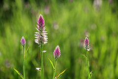Цветки пера фламинго Celosia розовые Стоковые Изображения RF
