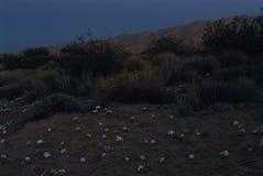 Цветки первоцвета вечера пустыни на сумерках стоковая фотография