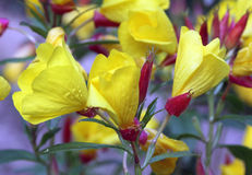 Цветки первоцвета вечера Стоковое Изображение
