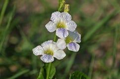 Цветки первоцвета Ганга Стоковое Фото