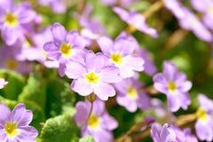Цветки первоцвета розовые & x28; Primula Vulgaris& x29; розовые первоцветы Растущее цветков Primula в поле Стоковая Фотография RF