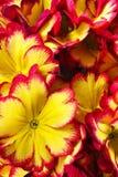 Цветки первоцвета Стоковая Фотография