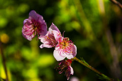 Цветки персика закрывают вверх Стоковые Фото