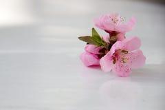 Цветки персика на белом крупном плане таблицы Стоковые Изображения RF